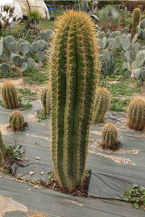 vente cactus jardin de cactus gros cactus. Black Bedroom Furniture Sets. Home Design Ideas
