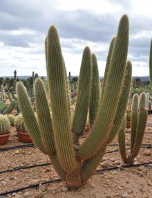 vente cactus gros cactus perpignan yuccas rostrata san pedro. Black Bedroom Furniture Sets. Home Design Ideas