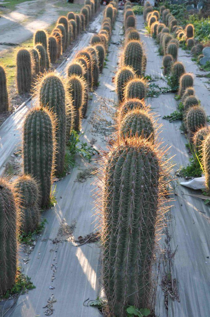 trichocereus pasacana gros cactus r sisant au gel. Black Bedroom Furniture Sets. Home Design Ideas