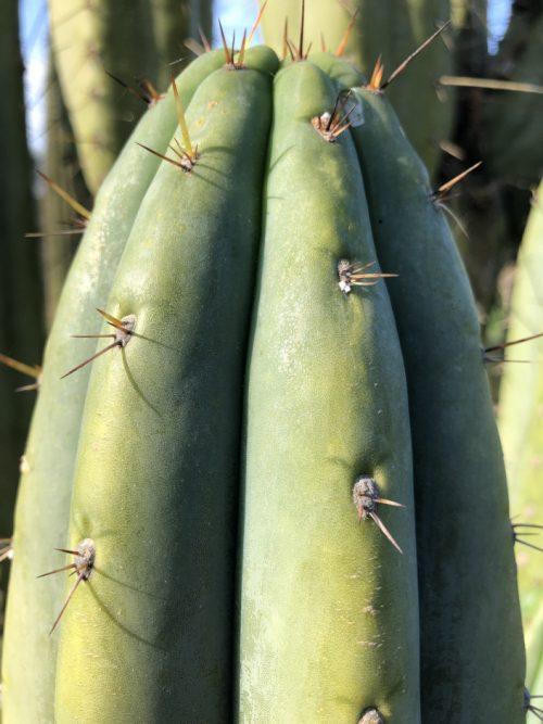 trichocereus pachanoi