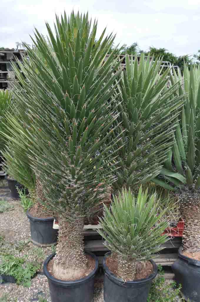 Yucca filifera australis for Yucca exterieur pot
