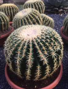 cactus de collection