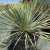 yucca rostrata petit